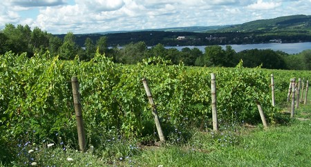 Photo of our vineyards (foreground) with Keuka Lake in the background