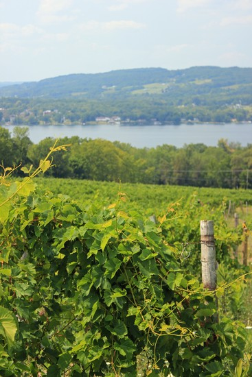 View of Wiltberger Vineyard, part of Keuka Spring Vineyards, with Keuka Lake in the background, in summer